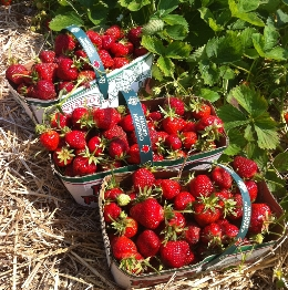 reesors_strawberries