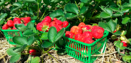 reesors_strawberries_02