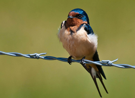 reesors_bird