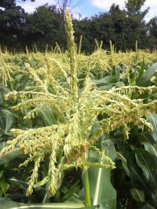 reesors-corn