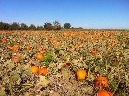 reesors-pumpkins01