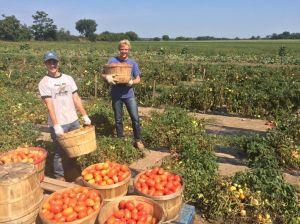 reesors-tomatoes01