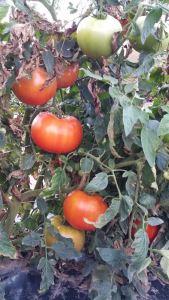 reesors-tomatoes02
